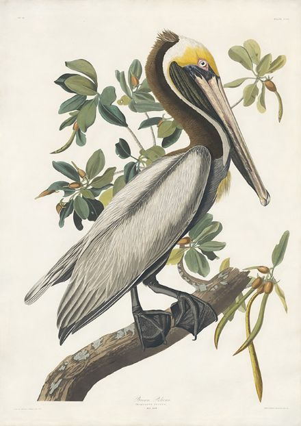 Audubon, John James: Brown Pelican. Ornithology Fine Art Print/Poster. Sizes: A4/A3/A2/A1 (001017)
